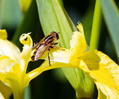Hoverfly — Foto Stock