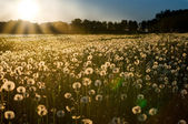 Sunset on dandelion meadow — 图库照片