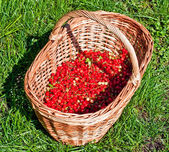Basket of red currants — Stock Photo
