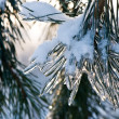 Ice and snow on pine-tree branch — Stock Photo