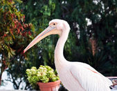 Pink pelican — Stock Photo