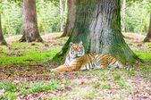 Tiger laying — Stock Photo