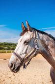 Paard — Stockfoto