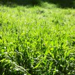 Stock Photo: Fresh green grass under spring sunlight