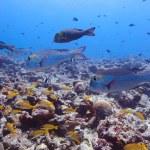 Bigeye emperors (Monotaxis grandoculis), Maldives — Stock Photo
