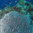 Stock Photo: Coral of genus Acroporpharaonis, Maldives