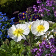 The Iceland Poppy (Papaver nudicaule) in Jardin botanique, publi — Stock Photo