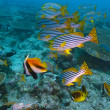 The Oriental sweetlips ( Plectorhinchus vittatus) and Masked ban — Stock Photo