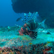 Stock Photo: Devil firefish (Pterois miles) near ship wreck, Maldives