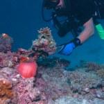Maldive anemonefish (Amphiprion nigripes) in a sea anemone (Hete — Stock Photo #12854072