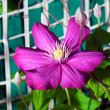 A purple clematis flower in full bloom climbing wall — Stock Photo