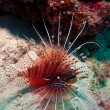 Agressive lion-fish, Ari-Atoll. Maldives — Stock Photo