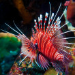 Lionfish (Pterois miles), divesite Batu bolong (Current city), E of Komodo, Indonesia - Stock Photo