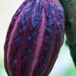 Cacao-beans (chocolate tree), Bali, Indonesia - Stock Photo