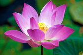 Lotus flower, Ubud, Bali, Indonesia — Stock Photo