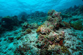Hard corals, Maldives — Stock Photo