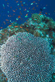 Coral of genus Acropora pharaonis, Maldives — Stock Photo
