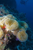 Soft coral Sarcophyton trocheliophorum, Maldives — Stock Photo