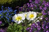 The Iceland Poppy (Papaver nudicaule) in Jardin botanique, publi — Stock Photo