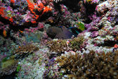 The giant moray (gymnothorax javanicus), Maldives — Stock Photo