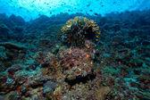 Velká mořská lilie a tvrdých korálů, Maledivy — Stock fotografie