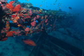 Ship wreck and Blue-spotted grouper (Cephalopholis argus), Maldi — Stock Photo