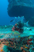 Devil firefish (Pterois miles) near ship wreck, Maldives — Stock Photo