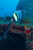 The moorish idol (Zanclus cornutus) near ship wreck, Maldives — Foto Stock