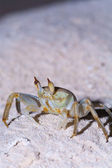 Night crab, Ari-Atoll. Maldives — Stock Photo