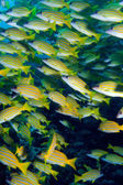 School of Blue striped Snapper (Lutjanus kasmira), Ari-Atoll. Ma — Stock Photo