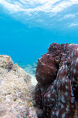 Octopus sitting on reef, Ari-Atoll. Maldives — Stock Photo