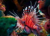 Lionfish (Pterois miles), divesite Batu bolong (Current city), E of Komodo, Indonesia — Stock Photo