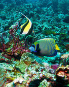 Moorish idols ((Zanclus cornutus) and emperor angelfish (Pomacanthus imperator), Indonesia — Stock Photo