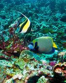 Moorish idols ((Zanclus cornutus) and emperor angelfish (Pomacanthus imperator), Indonesia — Stock Photo