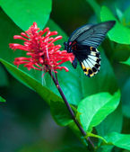 Big butterfly, Bali, Indonesia — Stock Photo