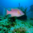 Stock Photo: Big rose fish and diver, Cayo Largo, Cuba