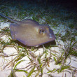 Stock Photo: Stingray during night dive, Cuba