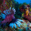 Lionfish (Pterois) near coral, Cayo Largo, Cuba — Stock Photo #12883056