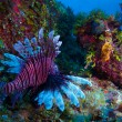 Stock Photo: Lionfish (Pterois) near coral, Cayo Largo, Cuba