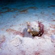 Hermit crab with new shell, night dive, Cuba - Stock Photo