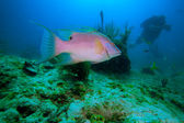 Big rose fish and diver, Cayo Largo, Cuba — Stock Photo