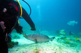 Diver, feeding big grouper with lobster, Cuba — Stock Photo