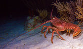Red lobster in the wild, Cayo Largo, Cuba — Stock Photo