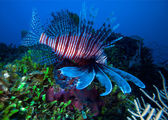 Lionfish (Pterois) near coral, Cayo Largo, Cuba — Stock Photo