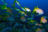 School of snappers, Cayo Largo, Cuba — Stock Photo