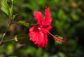Red hibiscus flower in park of old Havana, Cuba — Stock Photo