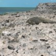 Stock Video: Cubrock iguan(Cyclurnubila) in wild, Cayo Largo