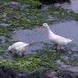 White goose on shore of Indian ocean eating sea-weeds - Stok fotoğraf
