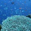 Stock Video: Small fishes around hard coral, Maldives