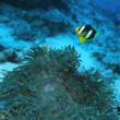 Ocellaris Clownfish (Amphiprion ocellaris) in anemon, Maldives — Stock Video